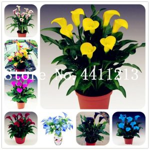 100 Pcs Calla Lily Bonsai,Rare Plants Flowers,Room Flowers Rhizome Zantedeschia Aethiopica, Bonsai Houseplants Home Garden Palnt